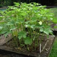 Okra Plant Diseases - growing okra bonnie plants