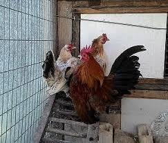 cerco animali da cortile polli animali da cortile e stalla annunci animali