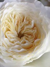 buttermilk and lace david austin wedding rose patience