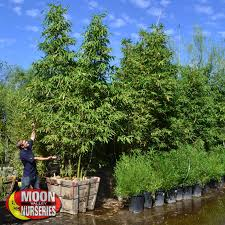 native screening plants fast growing timber bamboo hedge tree moon valley nurseries