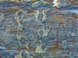 Cottonwood Tree Flowers - 1055 best tree barks n wood textures images on pinterest tree