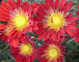 imagenes flores bellisimas los crisantemos bellas flores de otoño flores jardin flor de
