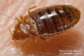 How Often Do Bed Bugs Reproduce Bed Bug Biology