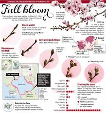 Cherry Blossom Facts by Cherry Blossom Full Bloom Infographic Garden Flowers