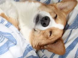 Cant Get Out Of Bed Corgi Can U0027t Get Out Of Bed Is All Of Us In The Morning American