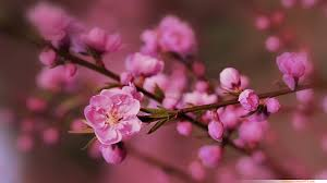 cherry flowers wallpapers wallpapers wallpaper cherry blossom wallpaper