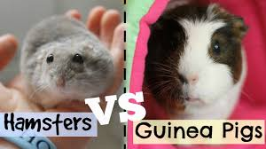 hamsters vs guinea pigs hamster horsesandcats youtube