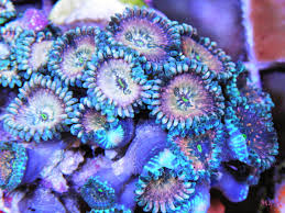 led lighting for zoanthids hawaiian zoanthids are totally right now coral news reef