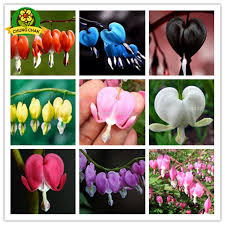 bleeding heart flower 2018 hot sale 200pcs bleeding heart flower seeds dicentra