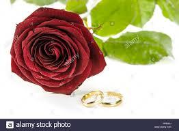 red rose rings images Wedding rings on rose stock photos wedding rings on rose stock jpg