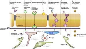 Blood Brain Barrier Anatomy Modern Methods For Delivery Of Drugs Across The Blood U2013brain