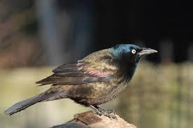 black colored birds birds in the yard