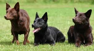 australian shepherd x kelpie australian kelpie dog breed standards