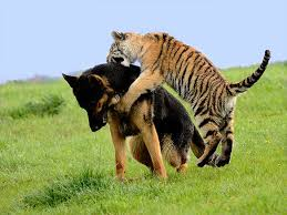 german shepherds and siberian tigers are best at this