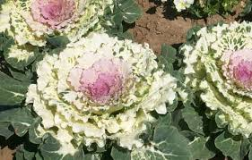 ky garden flowers baptisia to buddleia
