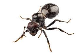 gambar efek sing obat kuat africa black ant semut hitam