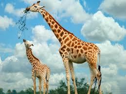 baby giraffe cutest baby animals