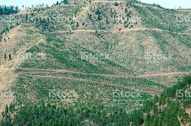 logging road and replanted douglas fir trees in western montana