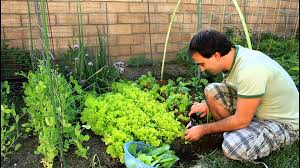 how to regrow cut garden lettuce for repeated crops with
