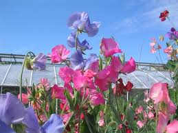 Sweet Pea Images Flower - the valleys sweet pea flowers free stock photos in jpeg jpg