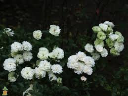 Roses For Sale Icy White Drift Roses For Sale The Planting Tree