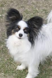 belgian sheepdog dogs 101 dogs 101 papillon u2013 interesting papillon phalene dog fun facts