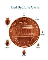 What Does Bed Bugs Eggs Look Like Achd Identifying And Controling Bed Bugs