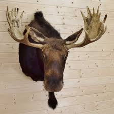 mounted moose head for sale at safariworks taxidermy sales sw3934