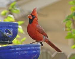 all about goldfinches backyard bird series images with