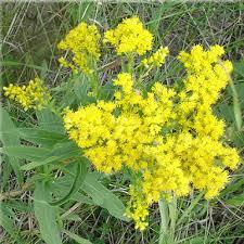 flowers canada wildflower seeds solidago canadensis canada golden rod