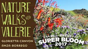 anza borrego wildflowers super bloom glorietta canyon youtube