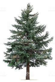 pine tree pictures images and stock photos istock