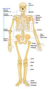 human skeletal system ck 12 foundation