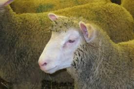 chambre d agriculture de l yonne la pérennité des exploitations assurée grâce à l élevage ovin la