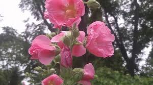 hollyhock flowers hollyhock how to harvest and grow mix color hollyhock flowers