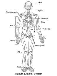 Human Skeleton Coloring Page human skeleton coloring page free printable coloring pages