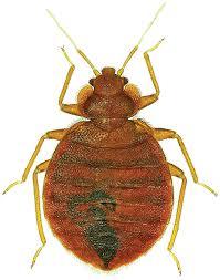 Flea Bites Vs Bed Bug Bites Pictures Flea Bites Vs Bed Bug Bites U2013 Schooling Your Customers Pest