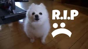 american eskimo dog meme r i p gabe the dog a gabe tribute youtube