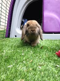 Rabbit Hutch For 4 Rabbits Eglu Classic Rabbit Hutch Rabbit House For Two Rabbits