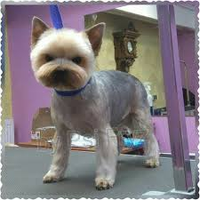 cairn terrier haircuts 233 best groom a zoom zoom images on pinterest dog grooming