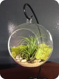 hanging air plant fancy plants glass globe w hanger living hanging air plant fancy