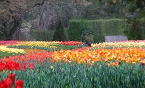 tulips in full bloom longwood gardens