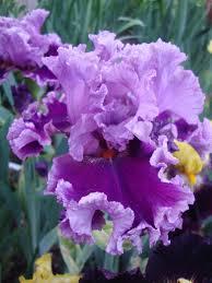 Iris by Photo Of Tall Bearded Iris Iris U0027another Woman U0027 Uploaded By