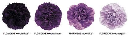 purple carnations human flower project debating a purple carnation