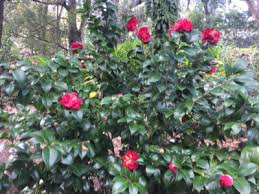 Zone Gardens - zone 6 camellia plants u2013 choosing camellias for zone 6 climates