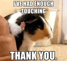 Shaved Guinea Pig Meme - funny piggie photos the guinea pig forum