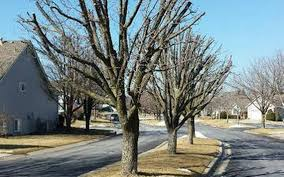 really seriously topping ornamental pear trees is a terrible idea