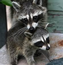 raccoon nation next door nature