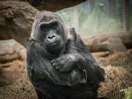 colo the world u0027s first gorilla born in captivity is dead smart