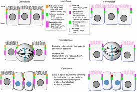 epithelial cell division u2013 multiplying without losing touch